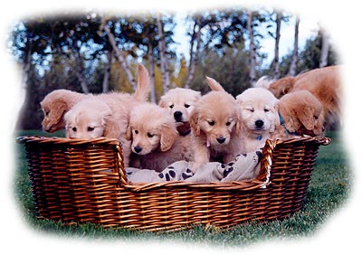 Nos chiots golden retrievers