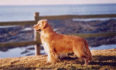 Majesty Golden Retrievers